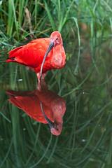Blijdorp_IBIS-4611 (Arie van Tilborg) Tags: zoo rotterdam blijdorp ibis dierentuin diergaarde rotterdamzoo rodeibis arievantilborg