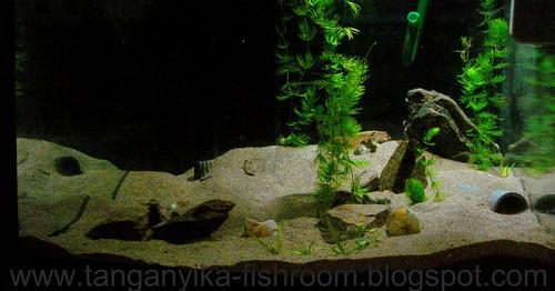 acuario Ceratophyllum