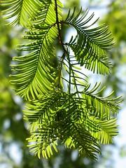 (Tlgyesi Kata) Tags: garden arboretum dawnredwood metasequoiaglyptostroboides budaiarbortum withcanonpowershota620 knaismamutfeny