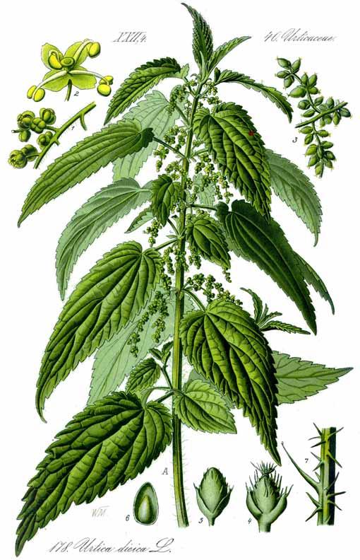 eco fibre stinging nettle plant nokkonen
