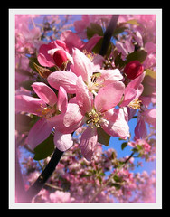 Blossoms of Pink (Javcon117*) Tags: county pink blue sky tree nature beautiful beauty md soft pretty blossom framed edited scenic maryland petal bloom fade cumberland edit springtime allegany bedfordroad javcon117 frostphotos