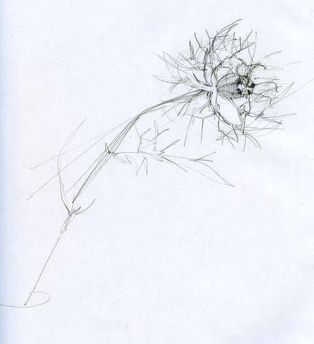 nigella drawing
