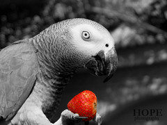 Enjoy with strawberry (AMAL MOHAMMED..) Tags: red strawberry african gray parrot