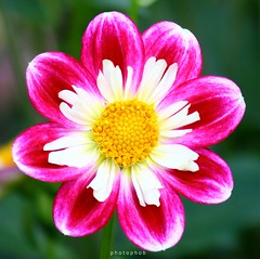 "Dahlia ""Collerette Princess"" (PHOTOPHOB) Tags: dahlia flowers autumn summer plants plant flores flower color macro nature fleur beautiful beauty fleurs petals spring colorful flickr dof estate blossom bokeh sommer herbst natur flor pflanze pflanzen blumen zomer verano bloom otoo blomma vero dalie t blume fiore blomst asteraceae outono dahlias dalia frhling bloem jesie floro kwiat dahlie naturesfinest lato lto sonbahar dahlien kvt blomman efterr supershot topshots blomsten dalio platinumphoto colorphotoaward colourartaward goldstaraward natureselegantshots photophob rubyphotographer"