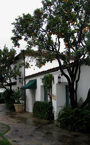 El Paseo Orange Tree