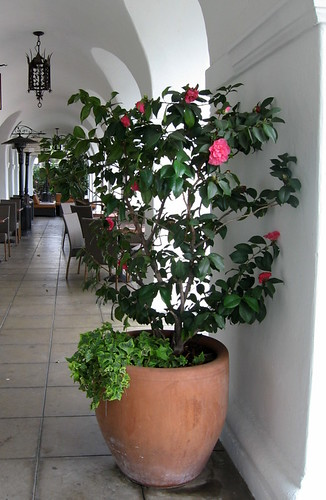 El Paseo Camellia