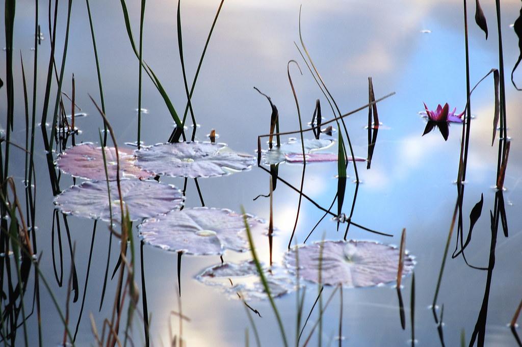 Nenúfares en el cielo - Water lilies in the sky