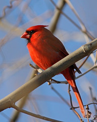 Northern Cardinal (Cardinalis cardinalis) (tonyadcockphotos) Tags: bird birds river cardinal birdwatching avian cardinaliscardinalis birdwatcher northerncardinal riverwalktrail canonef40056l danriver danvilleva citrit goldstaraward