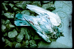 In flight (◄bl►) Tags: winter stilllife rain weather animals geotagged dead death iso100 pigeon grunge stilleven dieren regen mechelen dood lightroom weer duif nekkerspoel ef50mmf14usm canoneos5d 1250secatf14