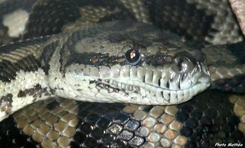 Serpent parisien