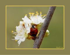 I love ladybugs.... (RitaK.) Tags: tree nature bug insect blossoms ladybird ladybug soe plumtree plumblossoms naturesfinest d80 flickrsbest diamondclassphotographer flickrdiamond macromarvels