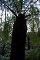 paprociowe drzewo sprowadzone do parku Blarney z Japonii (p.lorenc) Tags: lilla lorencowie