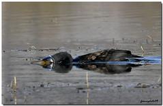 sub... (franco.photo) Tags: fauna natura cormorani supershot valtiberina thatsclassy