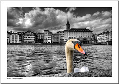 From Zurich with Love (Toni_V) Tags: schweiz switzerland swan europe suisse zurich zrich schwan 2009 stpeter limmat d300 sigma1020mm colorkey storchen photomatix hdrsingleraw schipfe selectivecolors capturenx toniv abigfave theperfectphotographer