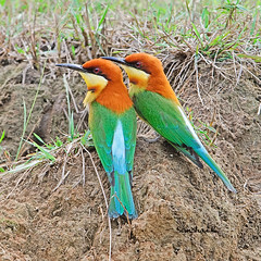 Chestnut-capped Bee-eater (somchai@2008) Tags: chestnutheadedbeeeater meropsleschenaulti colorphotoaward