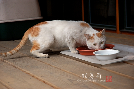 貓薄荷。Cat01