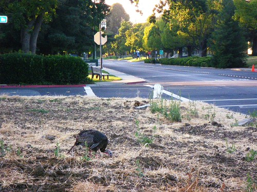 A turkey feeds in an open lot across the street from the Contra Costa Times offices in Walnut Creek. No word on whether he has applied for a job in the newsroom or not.