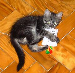 lobinho/ adotado (sosgatinhos) Tags: pet love cat toy furry kitten feline chat brinquedo play tabby kitty fluffy gato catnip felino neko shelter adoption adoo peludo adote abrigo animalwelfare catlover sosgatinhos