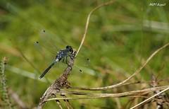 Leucorrhinia albifrons, Gironde (MP7Aquit) Tags: nature animal wildlife sony 350 alpha animaux insecte libellule invertebrate leucorrhinia gironde albifrons odonate invertebrado invertbr