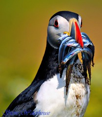 PUFFIN WITH SANDEELS #2 (spw6156) Tags: copyright wow lens island hand with steve iso 400 puffin mm 500 held waterhouse on skomer blueribbonwinner cherryontop sandeels specanimal platinumphoto colorphotoaward avianexcellence wowiekazowie goldstaraward vosplusbellesphotos spw6156 stevewaterhouse copyrightstevewaterhouse