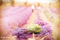Lavender Harvest (georgianna lane) Tags: summer texture vintage washington farm harvest lavender sequim lavandula florabellatexture