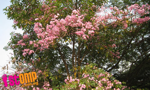 Cherry blossom-like trees along Geylang River
