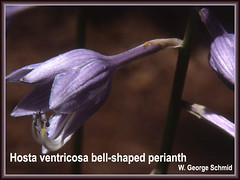 H. ventricosa bell-shaped perianth (photo courtesy of W. George Schmid)
