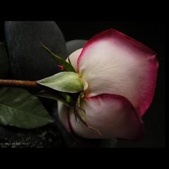 La vie en rose... (Martha MGR) Tags: flower nature rose rouge bravo natureza flor rosa vernissage rosso 1000views flôres lavieenrose mmgr impressedbeauty infinestyle vosplusbellesphotos marthamgr reservaespecial 4m´sphotographicdream 3msroyalflowers 2m´sroyalstation 4msroyalstation marthamariagrabnerraymundo marthamgraymundo
