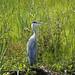 Heron, Norfolk Broads