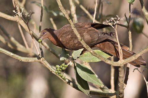 Brown Cuckoo-dove