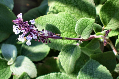 Plectranthus argentatus (rq) - 02