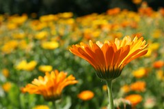 Saialilleline (anuwintschalek) Tags: summer orange macro yellow closeup estonia colours sommer july 2009 farben eesti suvi estland kollane tri vrvid anawesomeshot vanagram canoneos1000d oran saialilled