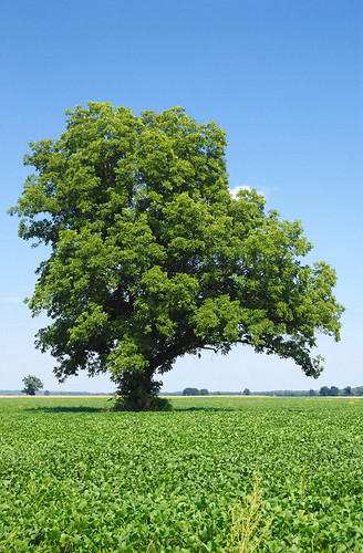 Tree in field, in Matson, Missouri, USA