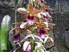 orquidea que floriu foto de nilgazzola (nilgazzola) Tags: de foto sp fotos e ou com tirada maquina echapora arquivos nilgazzola