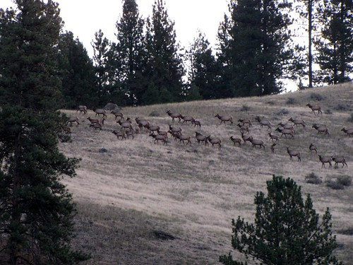 Early morning elk-4