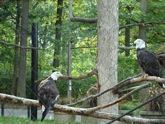 Gone Fishin' Animal Enrichment - Eagles (Potter Park Zoo) Tags: zoo fishing eagle michigan baldeagle lansing lansingmichigan americanbaldeagle gonefishin enrichment potterparkzoo animalenrichment northamericanbaldeagle wwwpotterparkzooorg