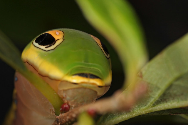 Spicebush Swallowtail (Papilio troilus) caterpillar