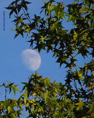 ARTG-1 Moon peeking out thru leaves (young eclectic images) Tags: trees sky moon leaves skyscape branches pineneedles griffin p3 myfrontyard mooncraters