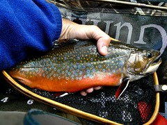 Spectacular Autumn Brook Trout (Upstate Dave) Tags: fishing adirondacks trout brookies brooktrout