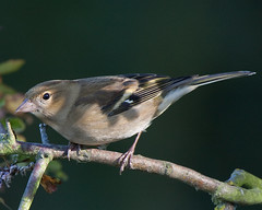 Female Chaffinch (Andrew Haynes Wildlife Images) Tags: bird nature rugby warwickshire chaffinch ajh2008