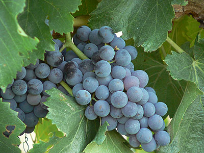 raisin noir provence.jpg