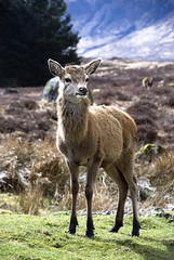 Highland Doe (www.LKGPhoto.com) Tags: nature animal scotland highlands stock doe deer explore westhighlandway 5for2 lkgphotography bridgeoforchytokingshouse wwwlkgphotocom