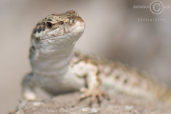 lizard appeared autumn (domenicosavi photographer) Tags: new city newyorkcity trip travel family flowers b autumn friends party summer vacation portrait england italy music food newyork man rome flower roma sexy art fall film sports nature water k fashion sport festival night t j nikon women friend europe italia foto photographer y florida o d g portait c w sportsillustrated n s x m lizard h v f r e u l p z q lazio cinecitt appeared savi rieti specanimal domenicosavi