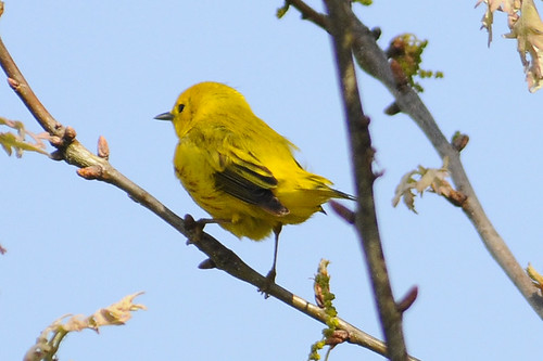 yellow warbler 2 birdathon