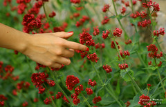 Touch. (Yavanna Warman {off}) Tags: pink flowers red plants naturaleza flores flower verde green primavera nature canon eos spring plantas hand arm touch fingers flor rosa nails dedos mano touching springtime roja brazo tocar tocando brotes sesin touch milde yavanna 1000d yavannawarman