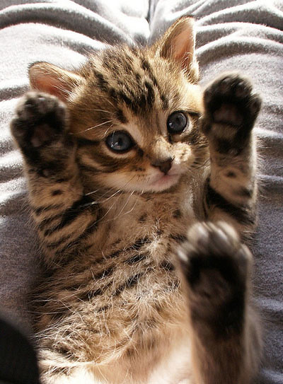 cute rescue tabby kitten jazz hands paws