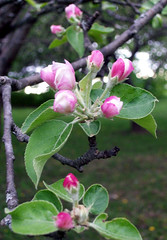 AppleBlossoms_51111