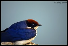 Portrait of Wire tailed swallow :-D (Pankaj  Unlimited (pankajz.com)) Tags: india bird maharashtra swallow pune kavadi wiretailedswallow kavdi  pankajunlimited