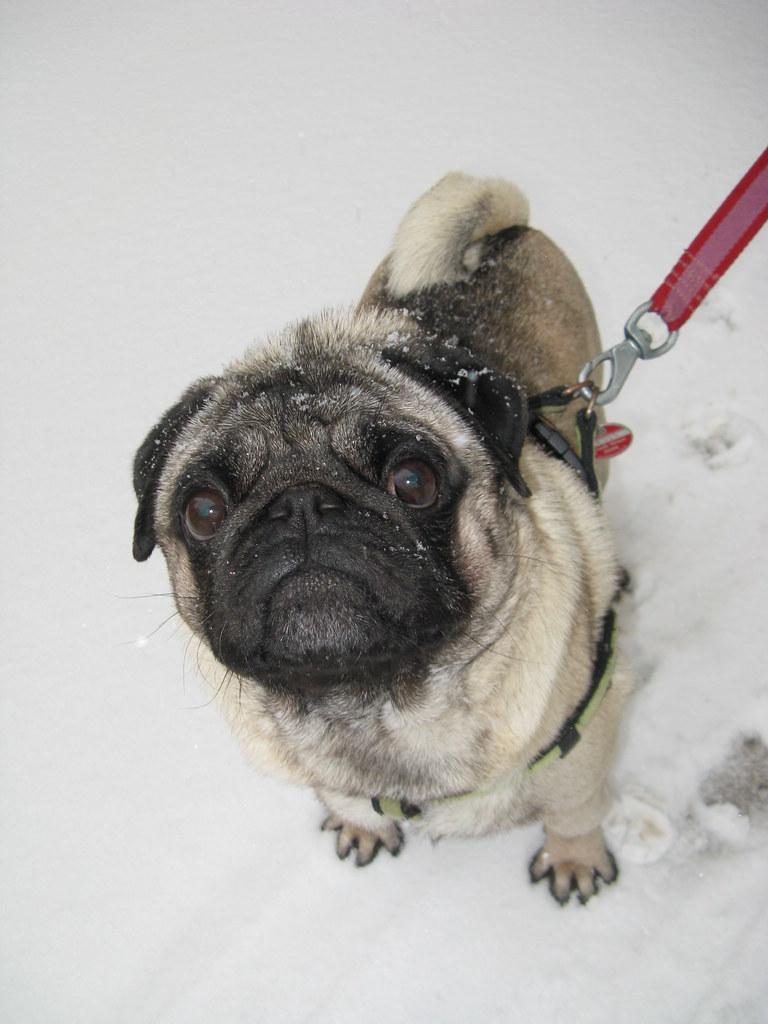 Mops im Schnee