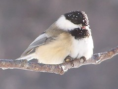Stop throwing snow balls..... (Lily C.) Tags: winter snow canada cold cute bird cool sweet hiver small newbrunswick chickadee neige froid oiseau branche lilyc
